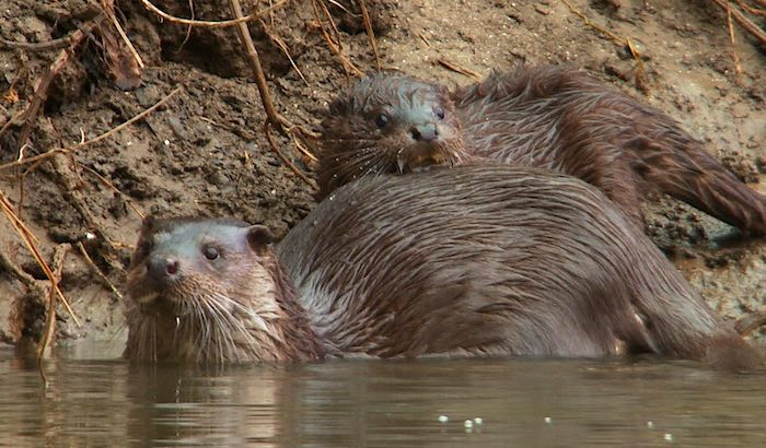 Otter and cub