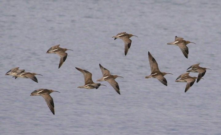 Flock of curlews