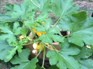 Acorn Squash and Ladybugs