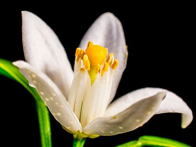 Aceite esencial de azahar: Citrus Aurantium Dulcis Essential Oil