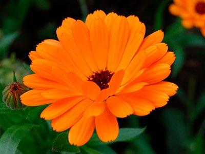 Oleado Caléndula: Calendula officinalis (caléndula) Flower Oil