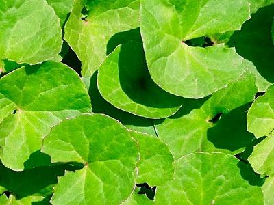 Extracto de Centella asiática: Centella Asiatica Extract