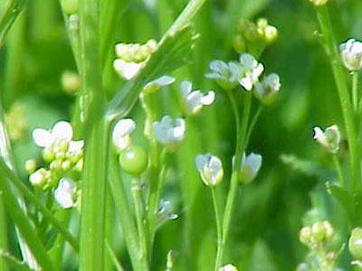 Aceite vegetal de Abisinia: Crambe Abyssinica Seed Oil