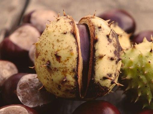 Extracto hidroglicerinado de Castaño de Indias: Aesculus Hippocastanum Seed Extract FR