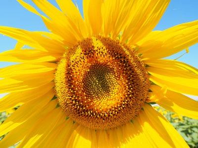 Huile végétale de tournesol: Helianthus annuus (tournesol) Huile de graines