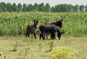 Vida de nuestros burros