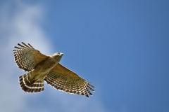Red-shouldered Hawk 02-28-12