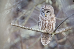 Perched up at Parker River MWR this Barred Owl was hunting alongside the road.