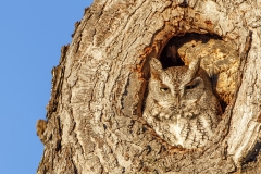 One of the Corliss Brothers Screech Owls in Ipswich