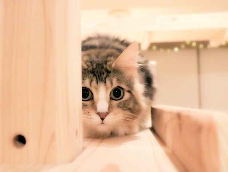Cat Cafe ねこみみ
