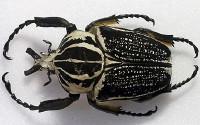 beetle_1594640c