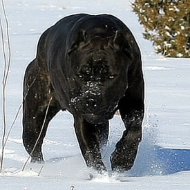 The Badass Chaos from About Time Cane Corso