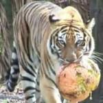Big cats vs. pumpkins
