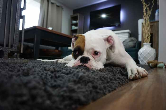 dog laying on carpet Handy Home Help: Fab Furnishings For All