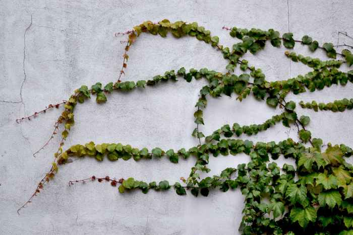 green ivy growing on an offwhite wall get a house ready for sale