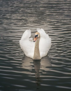 Another Swan