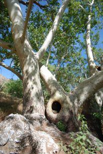 Sycaomore tree