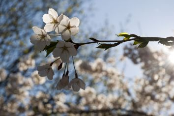 03_backlit_blossoms