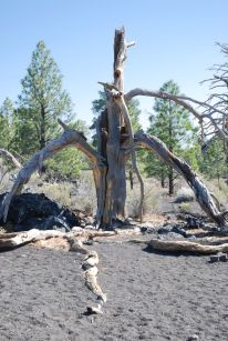 Sunset crater tree