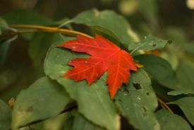red leaf on green
