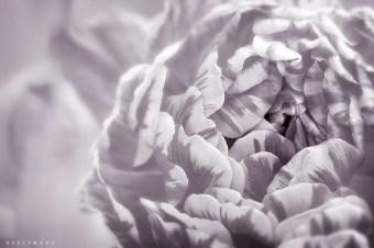 faded rose | neelywang