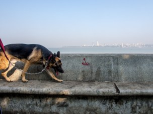 4060: A tired Alsatian with red collar and Mumbai in backdrop. Hectic life , Long work hours and sometime no social life but the young love Mumbai.