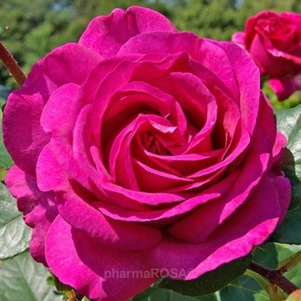 ausblush-rose