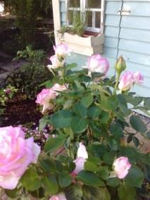 négy-évszak-kertészet-siófok-áruda- (16)