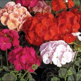Muskátli-egynyári-virágok-Négyévszak-Kertészet-Siófok (1)