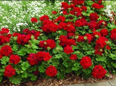 Muskátli-egynyári-virágok-Négyévszak-Kertészet-Siófok (10)