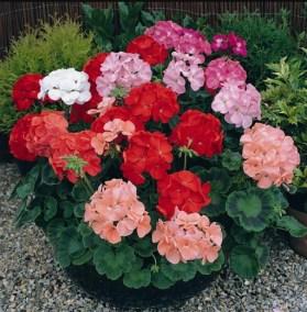 Muskátli-egynyári-virágok-Négyévszak-Kertészet-Siófok (7)