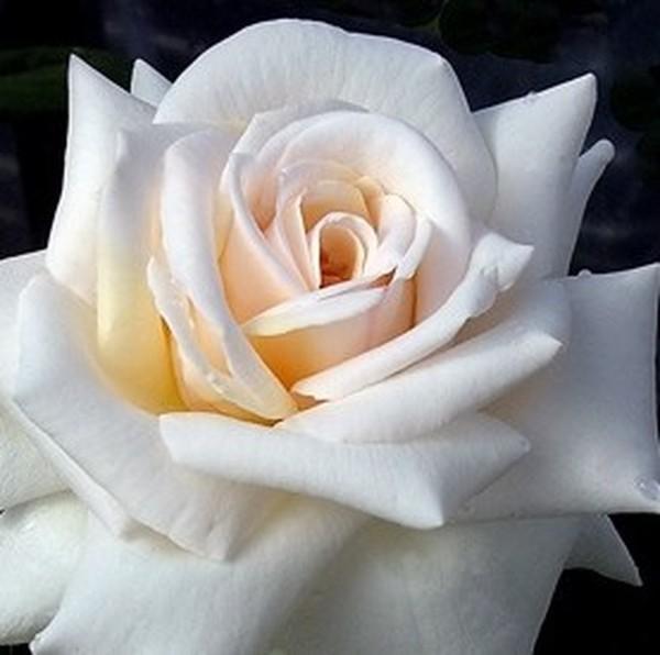 rosa-grand-mogul