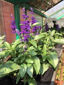 Kék zsálya Salvia farinacea