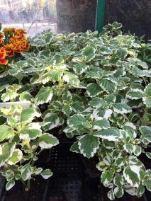 Szúnyogűző, kakassarkantyú (Plectrantus)