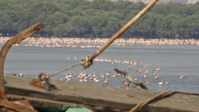 Flamingos at the mangrove patch of Sewri