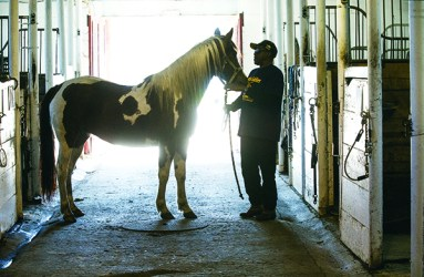 Vern Smith brings Miss Penny into the barn
