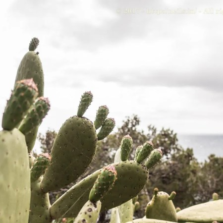 Cactii in bloom