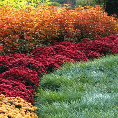 Mums For Fall Color Neil Sperry S Gardens