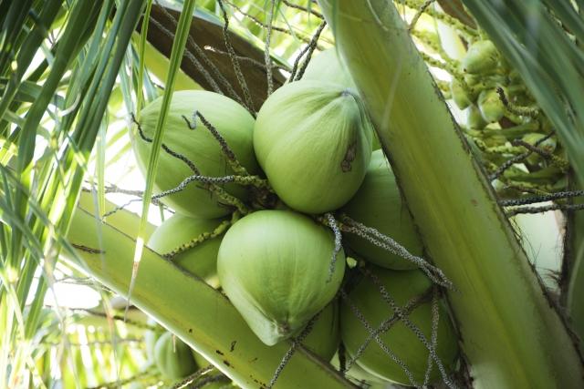 夏老けの肌にココナッツヨーグルト作り方とダイエットに効果的な飲み方