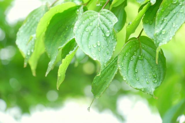 入梅と梅雨入りはどう違う?暦に記載される意味と漢字の梅が入る理由