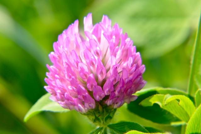 アカツメクサの花言葉は?意味と由来でわかるシロツメクサとの違い