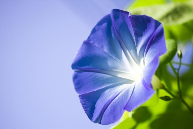 朝顔の花言葉は?青 紫 赤 白 色別から怖い意味まで名の由来もご紹介!