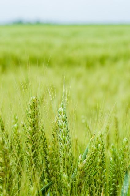 稲の穂先 芒種