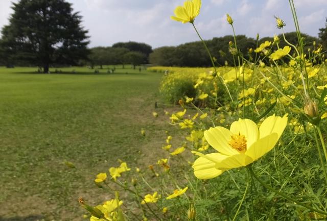昭和記念公園コスモスまつり2019!場所や見頃時期 アクセスをご紹介