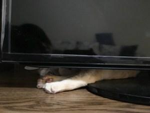テレビの裏の猫