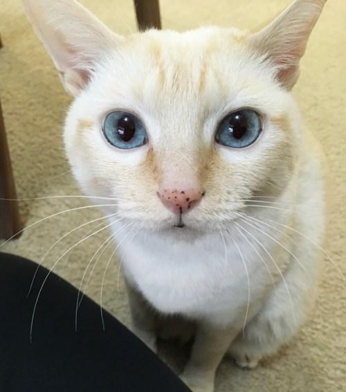上目使い猫