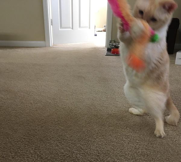 激しく遊ぶ猫