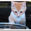 猫が妊娠したけど中絶はいつまで可能?手術費用や通院期間は?