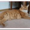 猫ソマリの値段や性格と飼い方は?子猫の販売価格や鳴き声は?