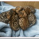 猫ベンガルの値段や飼い方や性格は?子猫の販売価格や柄は?